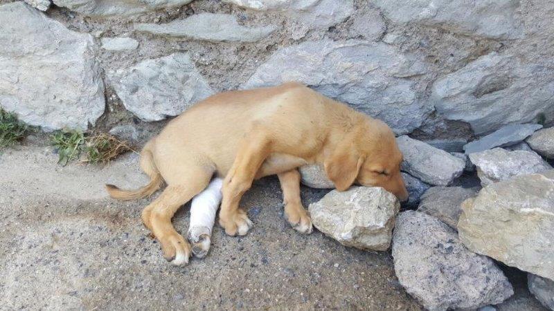Hakkari'de bacakları kırılan köpek, İsviçre'de yuva buldu
